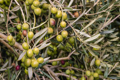 Olive non mature con le gocce di pioggia su di olivo Fotografia Stock