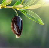 Olive oil drops from the olive berry. royalty free stock photography