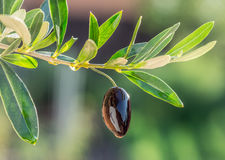 Olive oil drops from the olive berry. Royalty Free Stock Image