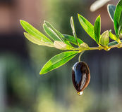 Olive oil drops from the olive berry. Stock Photos