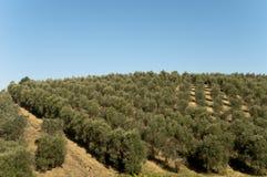 Olive Oil Farm-Ansicht von Bäumen in Vinci, Italien Stockfoto