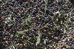 Olive oil production. Extraction of oil from olives in a modern farm Royalty Free Stock Photo