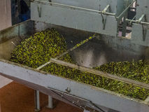 Olive oil production. Machineries at work to extract olive oil from freshly picked olives Stock Photos