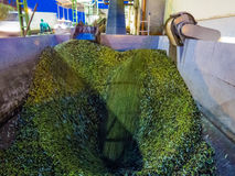 Olive oil production. Machineries at work to transform olives into olive oil Stock Images
