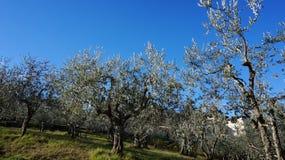Olive oil tree Stock Photo