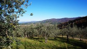 Olive oil tree Stock Photos