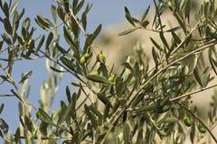 Olive - Olea Europaea Stock Image