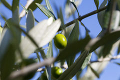 Olive. S hanging from an  tree full of leaves Stock Image
