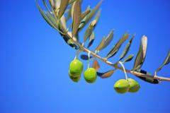 olive olivgrön tree royaltyfri fotografi