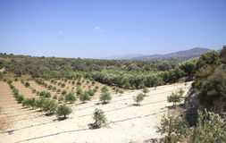 Olive orchard Royalty Free Stock Image