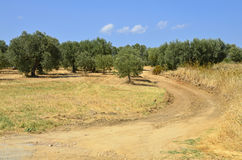 Olive orchard Royalty Free Stock Photos