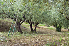 Olive Orchard Stock Photo