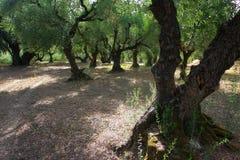 Olive Orchard anziana Fotografia Stock