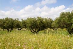 Olive orchard Stock Photo