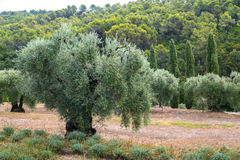 Olive Orchard in Provence Stock Photo
