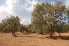 Olive Orchard in Puglia Stock Photo