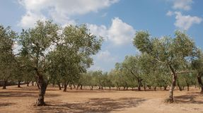 Olive Orchard in S Italy Stock Images
