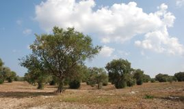 Olive Orchard in South Italy Stock Photography