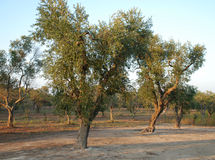 Olive Orchard, Southern Italy Stock Photos