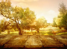 Olive orchard. Wood table. Olive orchard. Olive oil production. Olive trees landscape Royalty Free Stock Images