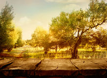 Olive orchard. Wood table. Olive oil production. Olive trees landscape Stock Photography