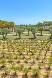 Olive and Palm trees Royalty Free Stock Photo