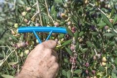 Olive per olio Immagini Stock Libere da Diritti