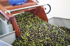 Olive per produzione di petrolio di olio d'oliva Immagini Stock Libere da Diritti