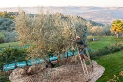 Olive pickers Royalty Free Stock Image