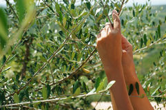 Olive picking Royalty Free Stock Images