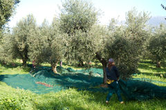 Olive picking Stock Photography