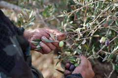 Olive Picking Hands Stock Image
