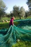 Olive picking Stock Image