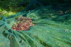 Olive picking Royalty Free Stock Image