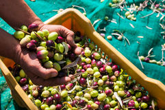 Olive picking time royalty free stock photography