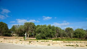 Olive plant. At typical Gozo farmland. Maltese islands Royalty Free Stock Photo