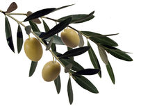 Olive plant branch Stock Images