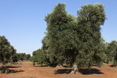 Olive plant in Puglia. Wide olive plant fields in Puglia Italy, typical red ground. In summertime stock photo
