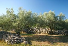 Olive plantation Royalty Free Stock Photos