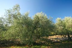 Olive plantation Royalty Free Stock Images