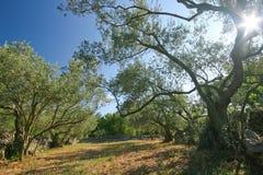 Olive plantation Royalty Free Stock Image