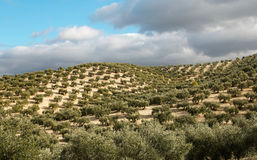 Olive plantation. Typical symmetrical olive tree plantation in Spain Royalty Free Stock Image