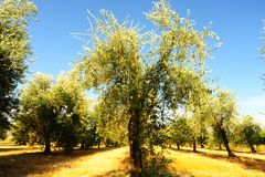 Olive Plantation Royalty Free Stock Photos