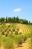 Olive Plantation Royalty Free Stock Photo