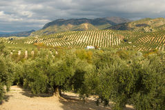 Olive plantation Stock Images