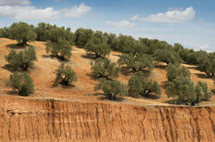 Olive plantation Royalty Free Stock Image