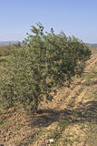 Olive plantation. In mediterranean landscape Stock Photography