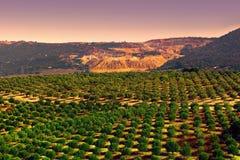 Olive Plantation Stock Photo