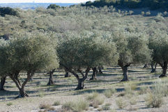 Olive plantation in central Spain Royalty Free Stock Photos