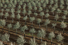 Olive plantation with drip irrigation Stock Photo